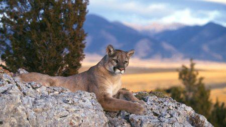 puma, rocks, big cat