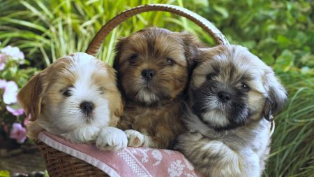 puppies, basket, cloth