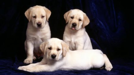 puppies, dogs, three