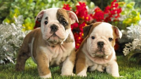 puppies, english bulldog, kids