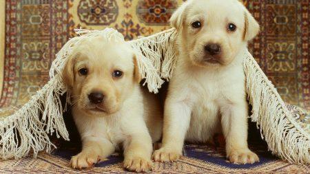 puppies, labrador, couple