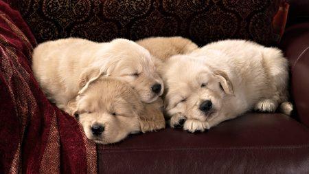 puppies, labradors, kids