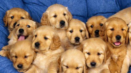 puppies, set, down