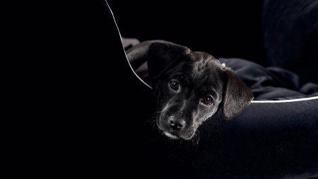 puppy, black, lie