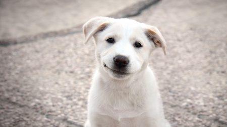 puppy, dog, white