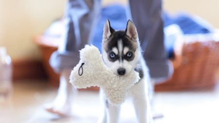 puppy, husky, dog
