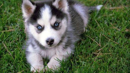 puppy, husky, siberian