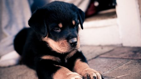 puppy, rottweiler, lie down