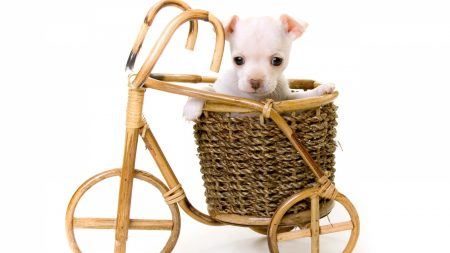 puppy, small, basket