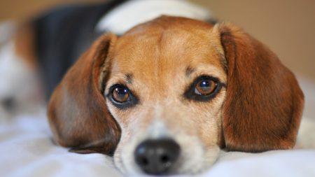 puppy, snout, ears