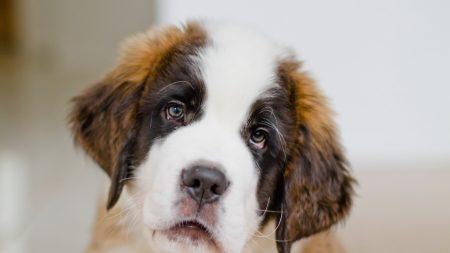 puppy, st bernard, face