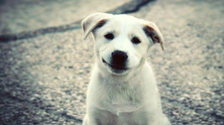 puppy, white, labrador