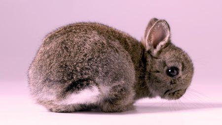 rabbit, cute, fluffy