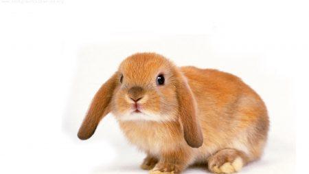 rabbit, ears, charming