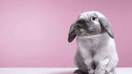 rabbit, gray, ears