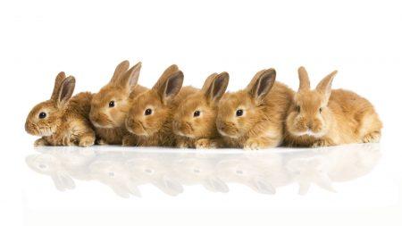 rabbit, many, build