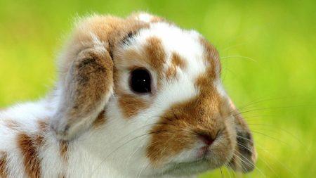 rabbit, snout, spotted