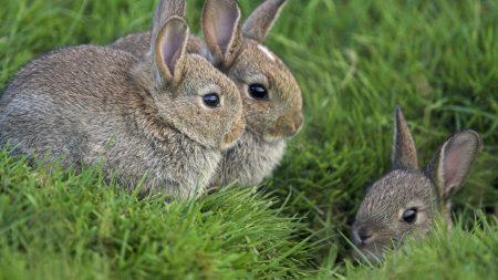 rabbits, grass, three