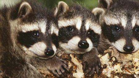 raccoon, baby, three