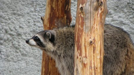 raccoon, curious, sit