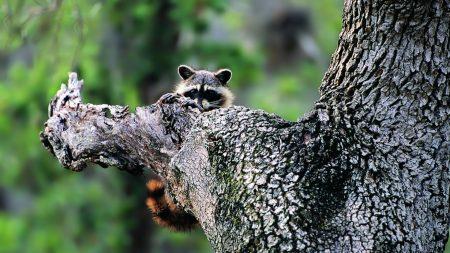 raccoon, face, tree climbing