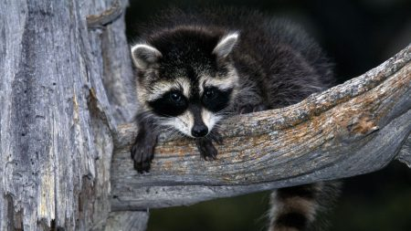 raccoon, striped, branch