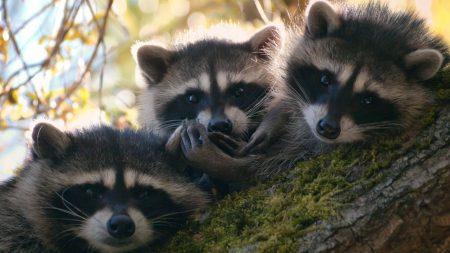 raccoons, three, tree
