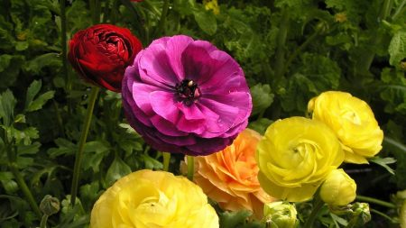 ranunkulyus, flower, flowerbed