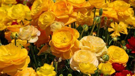 ranunkulyus, flowers, close-up