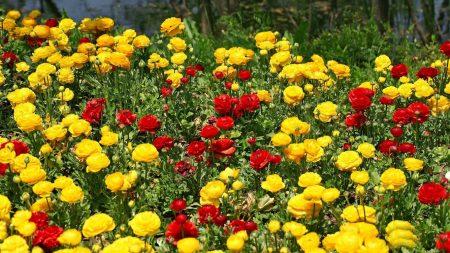 ranunkulyus, flowers, meadow