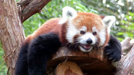 red panda, branches, trees