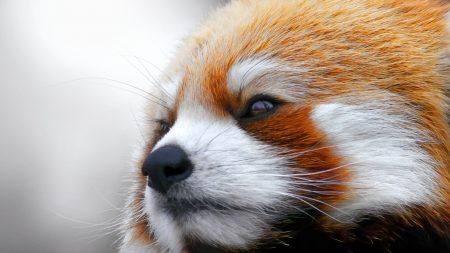 red panda, muzzle, fur