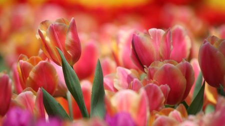 red, tulip, pink