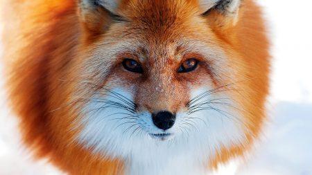 red, winter, fox