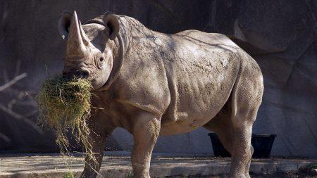 rhino, grass, food