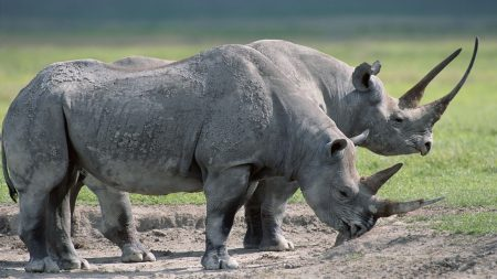 rhinos, steam, large