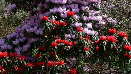 rhododendron, flowering, red