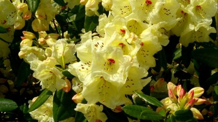 rhododendron, flowering, shrubs