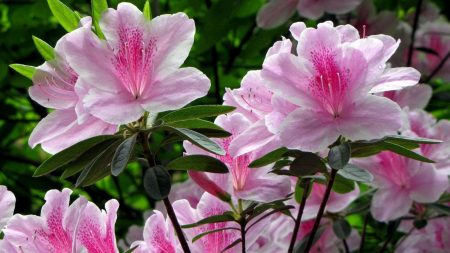 rhododendron, shrub, flower