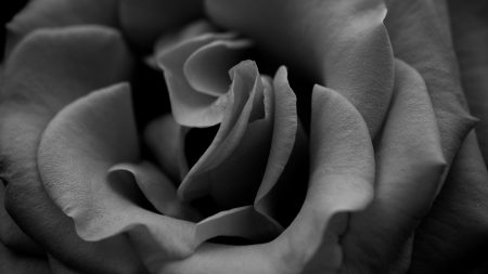 rose, black white, petals