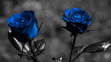 rose, blue, flowers