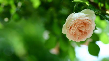 rose, branch, green