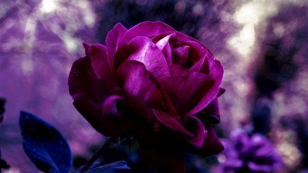 rose, bud, drop