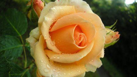rose, bud, flower