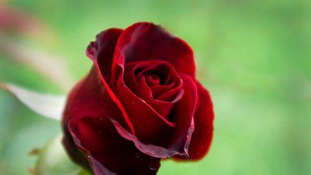 rose, bud, green