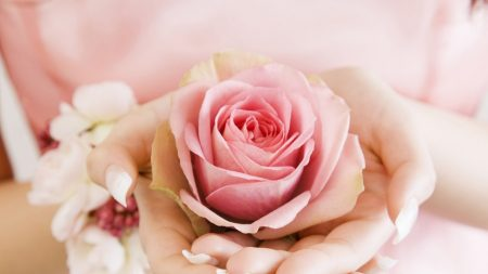 rose, bud, hands