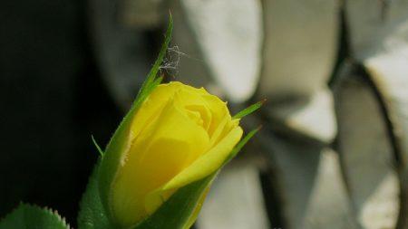 rose, bud, leaf