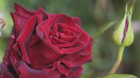 rose, bud, petals