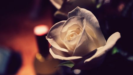 rose, bud, romance