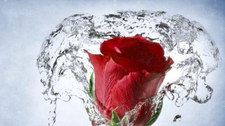 rose, bud, spatter
